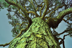 Árvore de pinho gigante Imagem de Stock Royalty Free