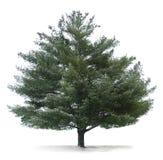 Árvore de pinho isolada imagens de stock