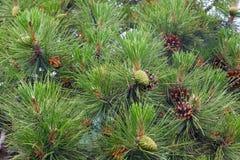 Árvore de pinho (macro) Imagem de Stock