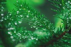 Árvore de pinho molhada Fotos de Stock