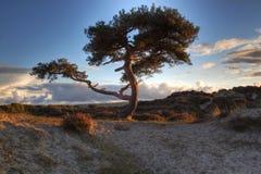 A árvore de pinho na associação amarra a área do pântano Fotos de Stock