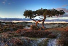 A árvore de pinho na associação amarra a área do pântano Foto de Stock Royalty Free