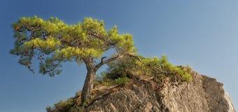 Árvore de pinho na rocha Fotografia de Stock Royalty Free