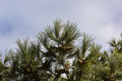 Árvore de pinho no fundo do céu Imagens de Stock Royalty Free