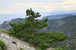 Árvore de pinho no monte da montanha do verão (Crimeia) Fotografia de Stock