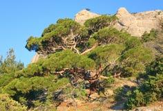 Árvore de pinho no monte da montanha do verão (Crimeia) Imagem de Stock