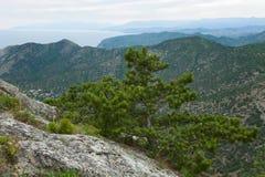 Árvore de pinho no monte da montanha do verão (Crimeia) Imagem de Stock Royalty Free