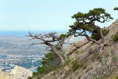 Árvore de pinho no monte da montanha do verão (Crimeia) Imagens de Stock Royalty Free