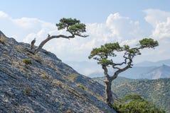 Árvore de pinho no penhasco Imagem de Stock