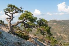 Árvore de pinho no penhasco Fotos de Stock