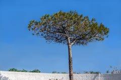 Árvore de pinho só Fotos de Stock Royalty Free