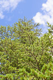 Árvore de pinho sobre o céu azul Imagens de Stock Royalty Free