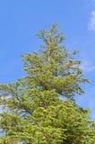 Árvore de pinho sobre o céu azul Fotos de Stock