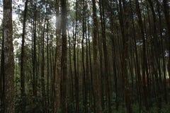 Árvore de pinhos Fotos de Stock