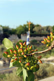 Árvore de pistache fotos de stock royalty free