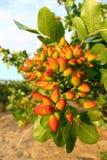Árvore de pistache fotografia de stock