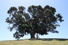 Árvore de Pohutukawa Fotografia de Stock