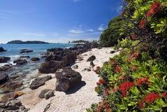 Árvore de Pohutukawa, praia de Maunganui da montagem, Nova Zelândia fotografia de stock