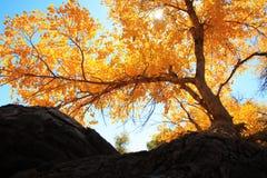 Árvore de Poplar Fotos de Stock Royalty Free