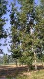 Árvore de Poplar Foto de Stock