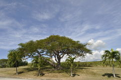 Árvore de Porto Rico Foto de Stock