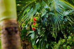 Árvore de Rambutan Fotos de Stock