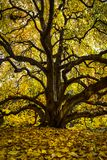 Árvore de ramificação no jardim botânico de Missouri fotos de stock