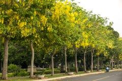Árvore de Ratchaphruek & x28; Árvore de chuveiro dourado, fistula& x29 da cássia; a flor nacional de Tailândia foto de stock