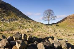 Árvore de Robin Hood da parede de Hadrians Imagem de Stock Royalty Free