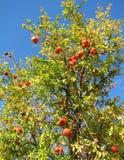 Árvore de romã foto de stock royalty free