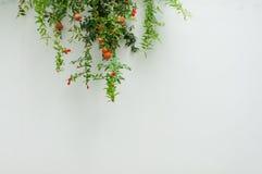 A árvore de romã Fotografia de Stock Royalty Free