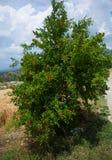 Árvore de romã fotos de stock