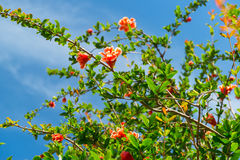 Árvore de romã de florescência Imagem de Stock Royalty Free