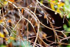 Árvore de romã no inverno na chuva Imagem de Stock