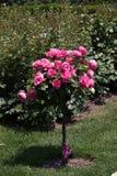 Árvore de Rosa com rosas cor-de-rosa em um jardim Imagem de Stock Royalty Free