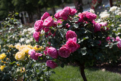 Árvore de Rosa com rosas cor-de-rosa em um jardim Fotografia de Stock Royalty Free