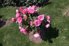 Árvore de Rosa com rosas cor-de-rosa em um jardim Fotografia de Stock