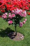 Árvore de Rosa com rosas cor-de-rosa em um jardim Imagens de Stock