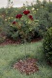 Árvore de Rosa com rosas cor-de-rosa em um jardim Foto de Stock Royalty Free