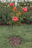 Árvore de Rosa com rosas cor-de-rosa em um jardim Fotos de Stock