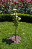 Árvore de Rosa com rosas cor-de-rosa em um jardim Fotos de Stock Royalty Free