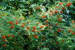 Árvore de Rowan Fotos de Stock Royalty Free