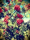Árvore de Rowan Fotografia de Stock