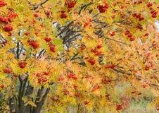 Árvore de Rowan Imagem de Stock Royalty Free