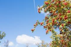 Árvore de Rowan Fotos de Stock