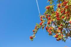 Árvore de Rowan Imagens de Stock Royalty Free