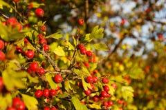 Árvore de Rowan na floresta do outono Fotos de Stock Royalty Free