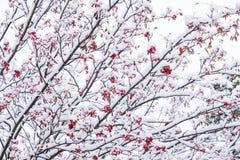 Árvore de Rowan nevado do japonês foto de stock