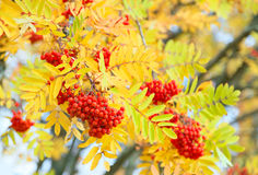 Árvore de Rowan no outono Fotos de Stock
