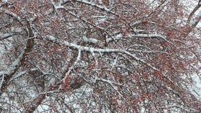 Árvore de Rowan que balança no vento video estoque
